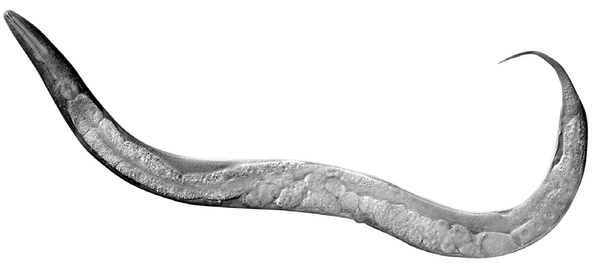 An image of Kiley's model organism, C. elegans. It shows the image of a worm, where the internal organs are visible.