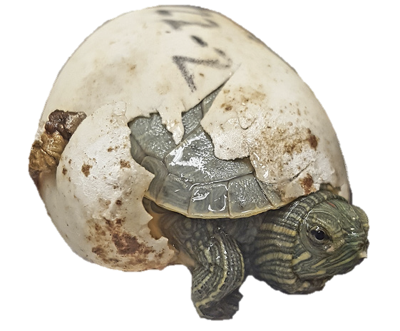 A picture of a T. scripta hatchling half emerged from its shell. The head, left leg, and part of the carapace are visible. The eggshell appears torn and there is a number written on the top of the egg in pencil.