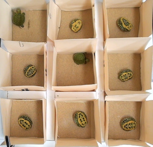 A picture of the righting response trial arena. It is an aerial view of a 3 by 3 grid of small cardboard boxes, each with an open top. Each box has a hatchling inside it. The top left and center box have turtles that are on their feet. All other boxes have turtles that are on their backs.