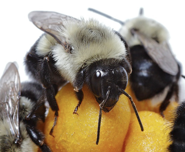 A up-close picture of the Eastern bumble bee. It is holding onto a grain of pollen.