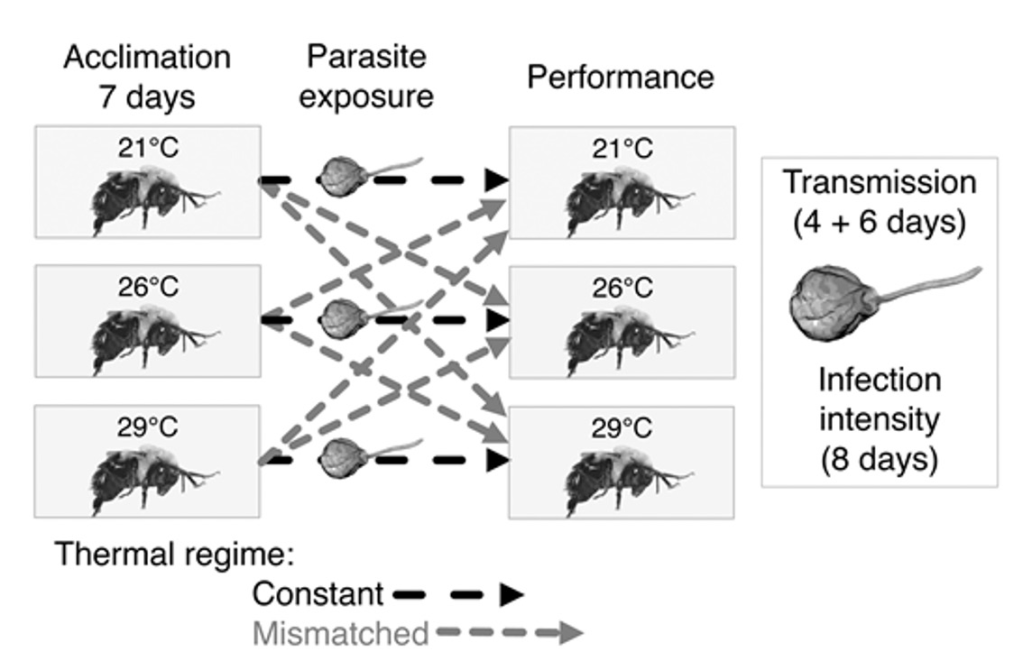 A figure that conveys Kerrigan's research methods. Bees were acclimated for 7 days to 21 degrees C, 26 degrees C, or 29 degrees C. All bees were exposed to the parasite. Bees acclimated at 21 degrees C were then shifted to either, a 21 degrees C, 26 degrees C, or 29 degrees C performance temperature. The same was true bees acclimated to 26 degrees C and 29 degrees C.