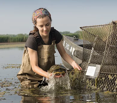 A picture of Amanda Wilson Carter at her field site. She is in a marsh wearing waders. She is next to a canoe, holding a turtle that was just removed from a trap.