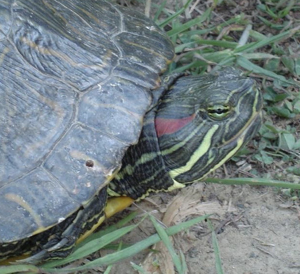 A picture of a red-eared slider turtle on the ground. The turtle has a red band on the side of its head.