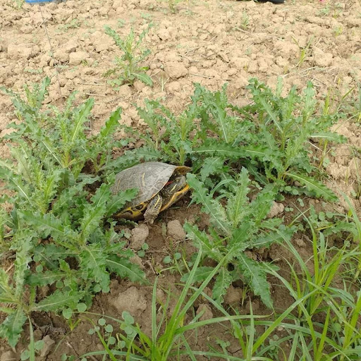 A turtle sits in the sand between a set of plants, preparing to lay her eggs.