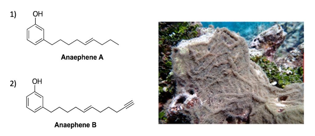 Two images. One has the chemical structure of Anaephene A and Anaephene B. The other has a picture of grey marine cyanobacteria.