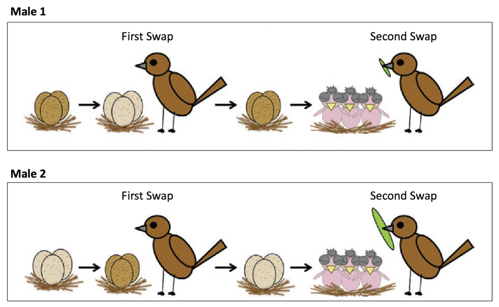 A two-panel cartoon. The top panel shows a male that sired dark eggs but thinks that he sired light eggs. The nestlings that he raises are from dark eggs. He provides a small food item. The bottom panel shows a male that sired light eggs but thinks he sired dark eggs. The nestlings that he raises are from light eggs. He provides a large food item.