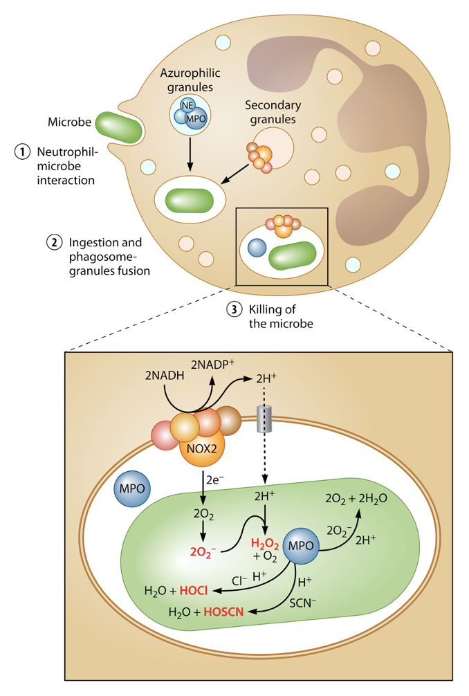 An illustration of a neutrophil surrounding a bacterium, pulling it into the cell, and encasing it within a membrane. The illustration then zooms in to the bacterium enclosed in the membrane. Inside the membrane, antimicrobial enzymes release chemicals to make HOCl.