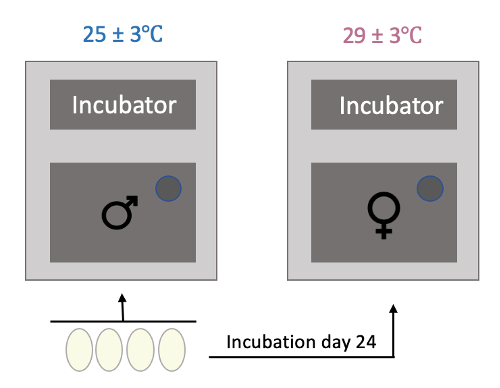 Eggs were incubated under a male-producing temperature of 25.0 ± 3°C for the entire experiment or were moved to a female-producing temperature of 29.5 ± 3°C after incubation day 24.