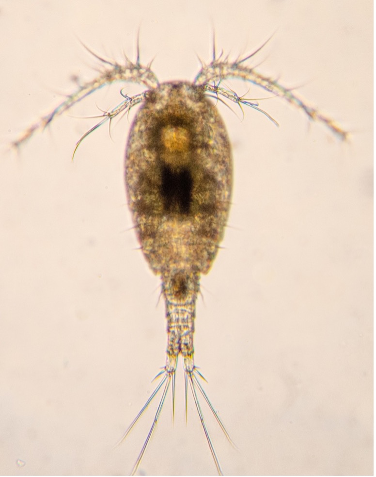 A picture of a copepod on a white background. It has an oval-shaped, translucent body and what appears to be very large antennae. Its tail is bifurcated and about half the length of its body.
