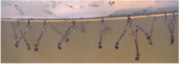 Several mosquito larvae submerged in water. They have their heads down and their bottoms up so that the siphon can stick out of the top of the water.