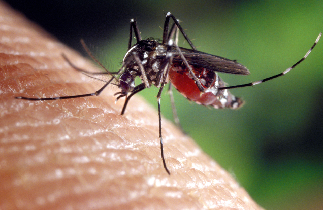 A close-up of mosquito perched on a person's skin. It has a red abdomen.