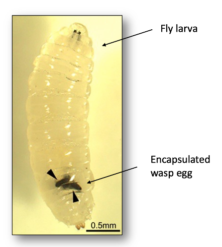 A picture of an infected fly larva under a microscope. The larva looks fat and grub-like. The encapsulated wasp eggs look like hard black ovals.