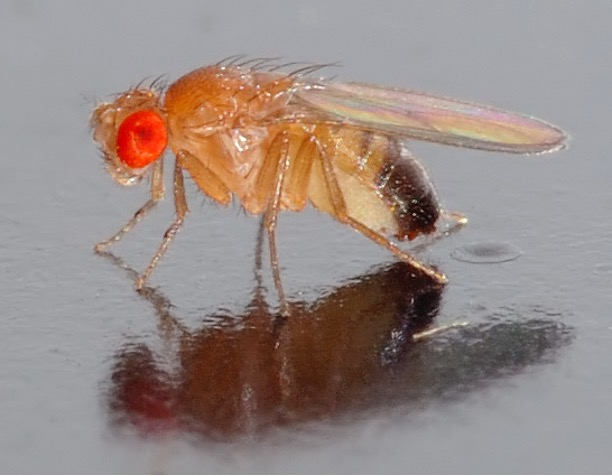 A picture of a fruit fly. It had red eyes and a light brown body.